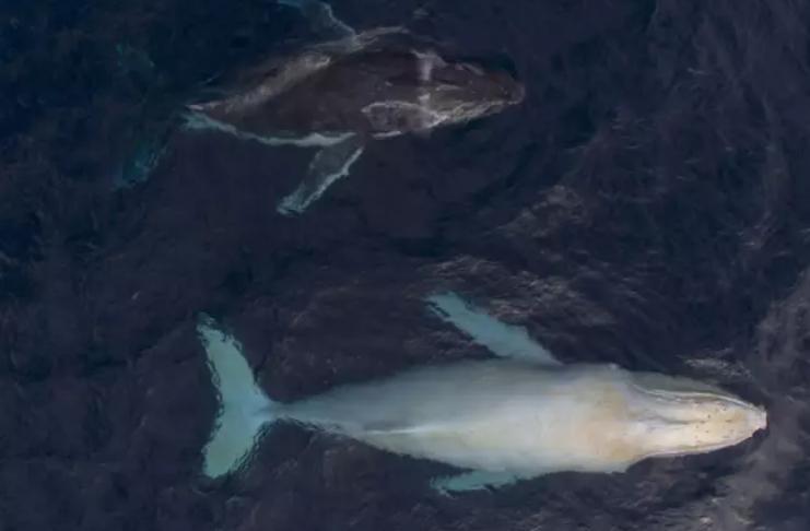 Fotógrafo captura imagens incríveis de baleias-jubarte brancas
