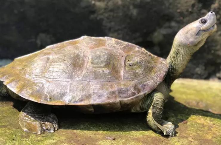 Tartaruga rara, conhecida por seu sorriso permanente, foi trazida de volta da extinção