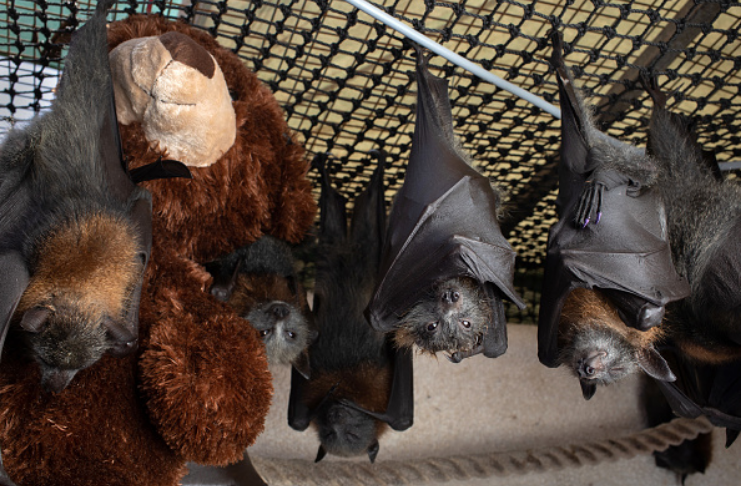 Cientistas descobrem que morcegos se distanciam socialmente como os humanos