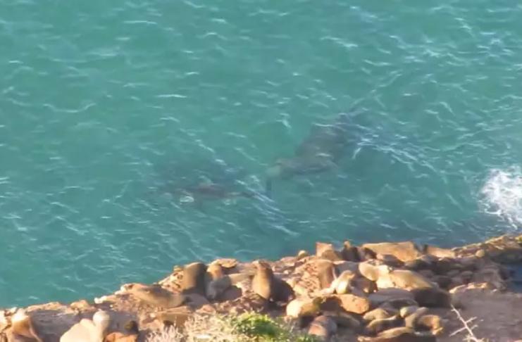 Enorme elefante marinho persegue tubarão branco