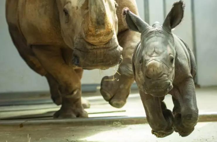 Raro filhote de rinoceronte branco nasce no Animal Kingdom, parque temático da Disney